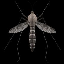 蚊子的声音 (Mosquito sound)